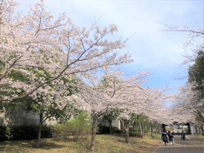 image おゆみ野周辺情報🌸桜のお裾分け